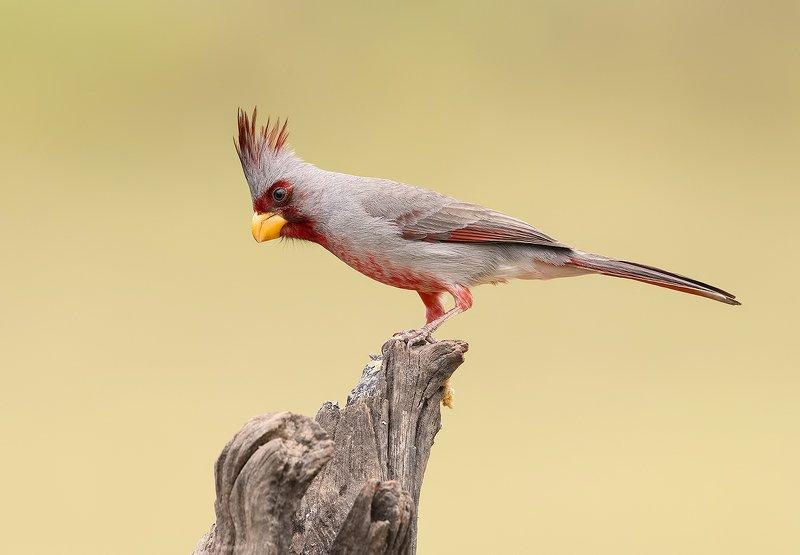 pyrrhuloxia, пустынный кардинал, кардинал, tx, texas,cardinal Pyrrhuloxia male - Пустынный или Попугайный кардиналphoto preview