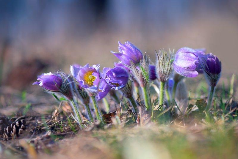 весна, март, цветы, сон-трава Акварельная веснаphoto preview