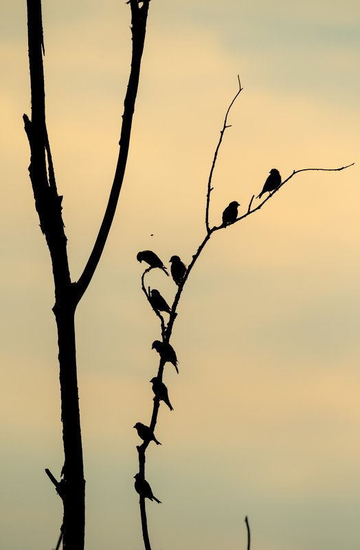 зеленушки, стая птиц, много птиц, силуэты птиц, птицы на сухом дереве, вечер, контровый свет Собрание зелёныхphoto preview