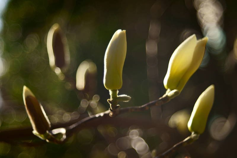 south korea, seoul, spring, march, flower, magnolia, composition, macro, sunlight, backlight, bokeh Compositionphoto preview