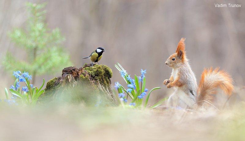 белка, синица, подснежник, squirrel, весна ***photo preview