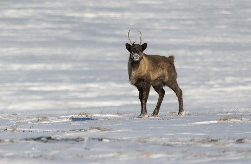 чукотка, олень, тундра, северный олень, зима, снег Молодойphoto preview