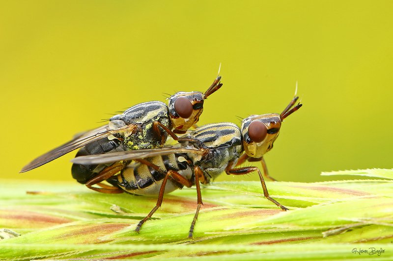 #mating#fly#macro#northcyprus Perfect Lovephoto preview