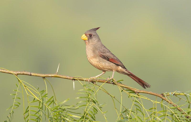 pyrrhuloxia, пустынный кардинал, кардинал, tx, texas,cardinal Female Pyrrhuloxia - Самка. Пустынный или Попугайный кардиналphoto preview