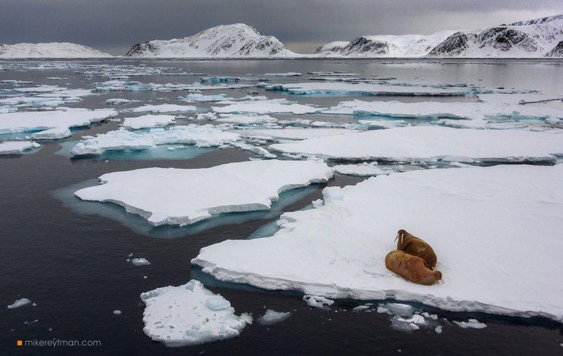 walrus, ice, glacier, nature, svalbard, cold temperature, snow, outdoors, expedition, arctic, north, wild, spitsbergen, monaco glacier, liefdefjorden, archipelago, death to coronavirus, death to covid-19 Моржи на карантинеphoto preview