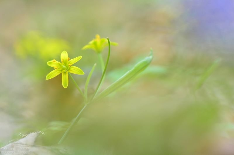 первоцветы, цветы, гусиный лук, весна, макросъемка Гусиный лукphoto preview