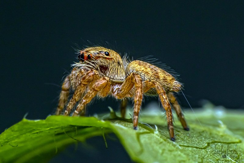 spider, macro, close up, small, outdoor, wildlife, legs, eyes, jumping, nature, natural, leaf, forest, beautiful Spiderphoto preview
