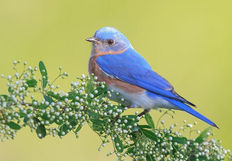 восточная сиалия, eastern bluebird,bluebird Восточная сиалия cамец - Eastern Bluebirdphoto preview