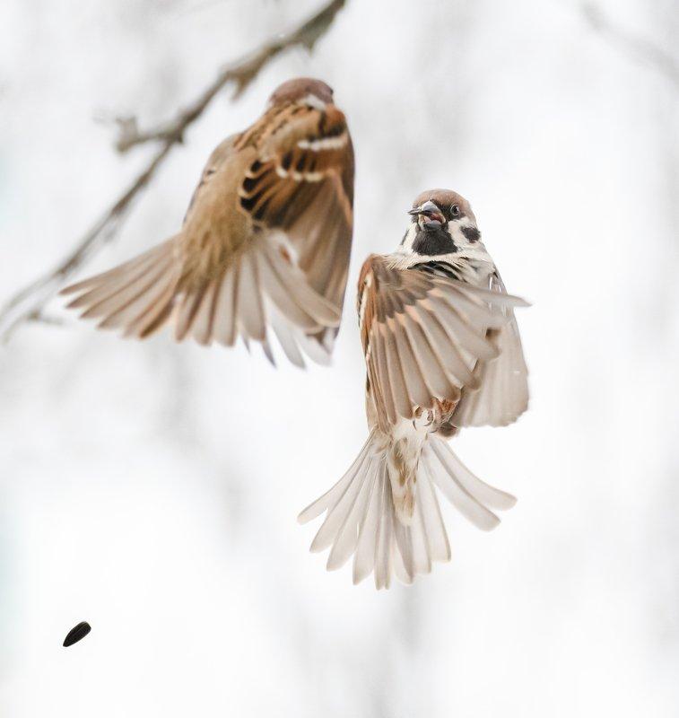 полевой воробей,  passer montanus, драка воробьёв, драка птиц, воробьиные разборки, птицы в воздухе, птицы в полёте, птицы у кормушки, крылья, природа подмосковья, кормушка, птицы зимой, воробей с семечкой Дуэльphoto preview