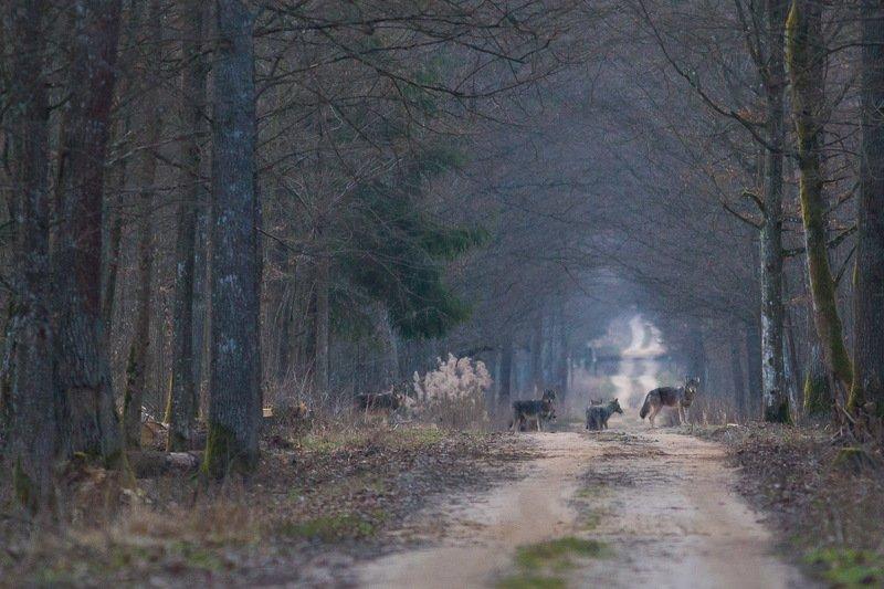 ssaki wilki przyroda las Wilkiphoto preview