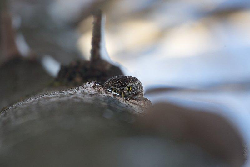 воробьиный сыч, сова штурмовикphoto preview