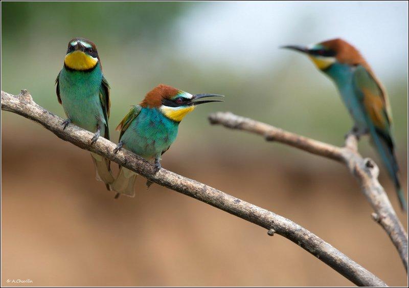 птицы,щурки,май Запасной )photo preview