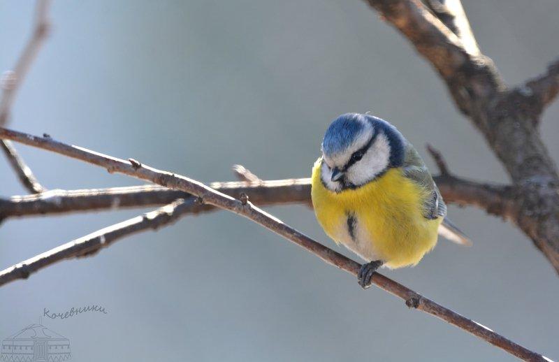 птицы, лазоревка, birdwatching, дикая природа, birds Лазоревка-кокеткаphoto preview