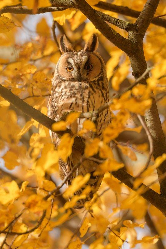 Ушастая сова, птица с ушами, Asio otus, птицы Подмосковья, портрет птицы, птица на липе, осенняя листва, листья липы, липа осенью, размытие в кадре, размытая листва, листва, боке, сова осенью, анфас, портрет совы, взгляд совы, глаза в глаза Ну что тебе!?photo preview