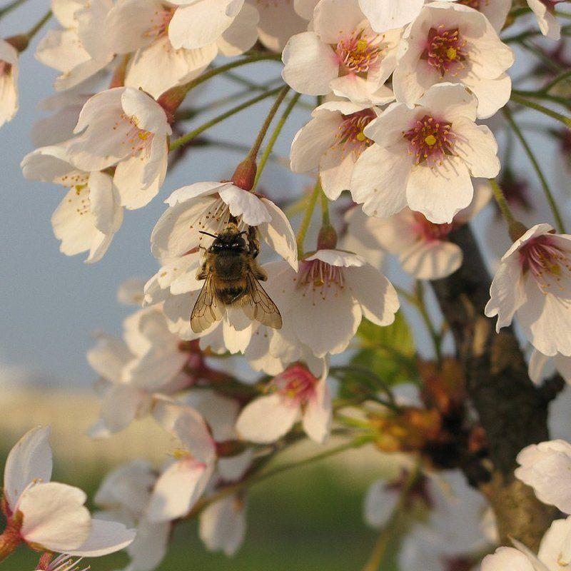 весна, сакура, шмель Весенняя страдаphoto preview