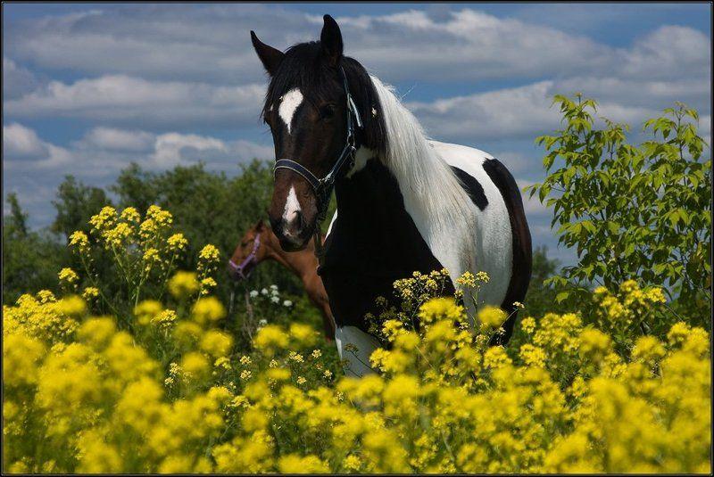 подмосковье, серпухов, лошадь, поле, лето, цветы, небо, облака ...в поле с конем...photo preview