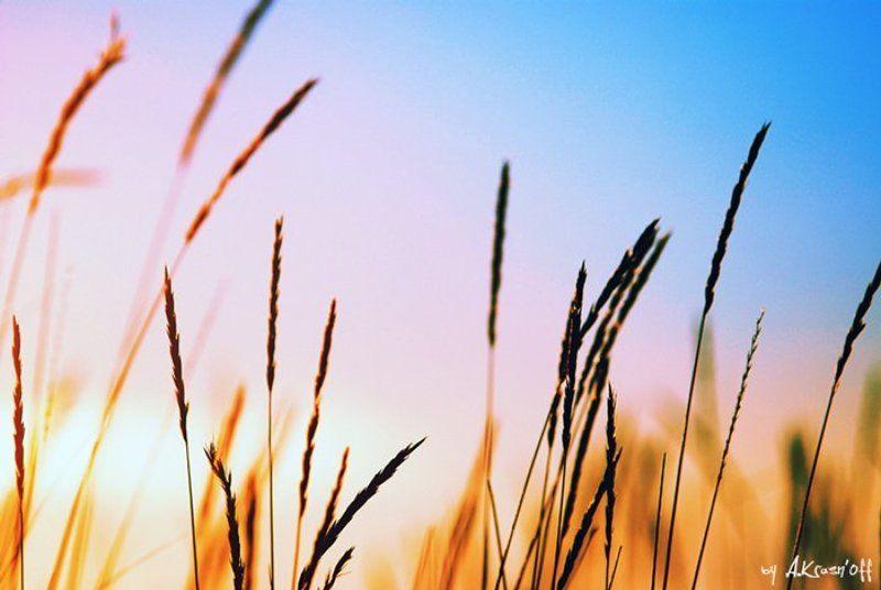 утро, колосья, небо, солнце, расвет про утреннюю игру света...photo preview
