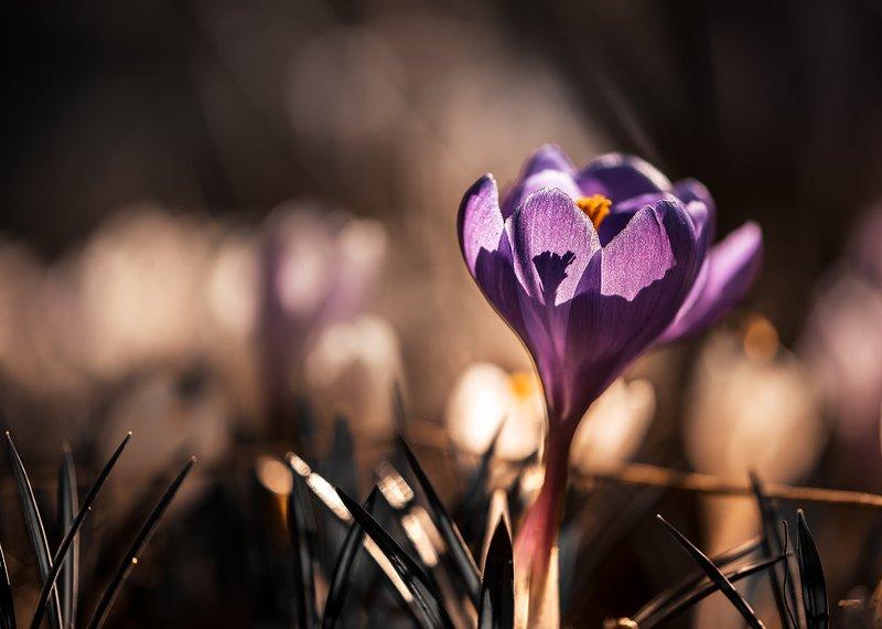 природа, макро, весна, цветы, крокус Горький шоколадphoto preview