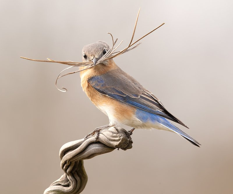 восточная сиалия, eastern bluebird,bluebird С Международным Днем Птиц - Весенние хлопоты у птиц!photo preview