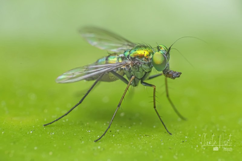 Fly, insect, macro, small, green, outdoor, nature, natural, beauty, beautiful, eyes, fast, close up Green Flyphoto preview