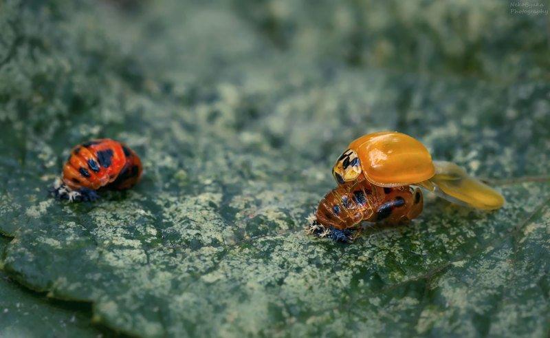 макро, природа, насекомые, божьи коровки, личинка,  macro, nature, insects, ladybugs, larva, Немного божьи коровокphoto preview