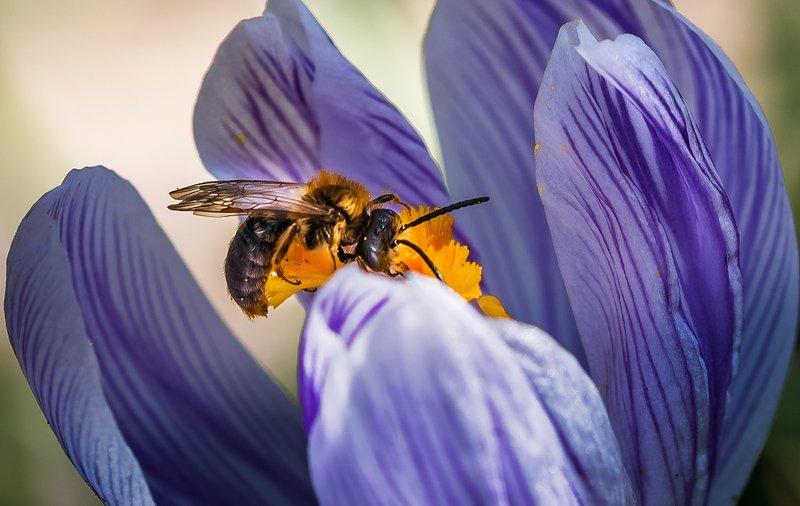 природа, макро, весна, крокус, пчела Багдадский ворphoto preview