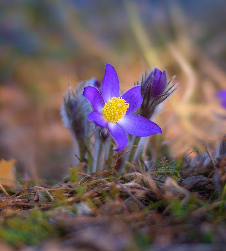 весна, цветы, сон-, трава Красота неописуемаяphoto preview