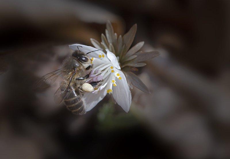 весенник звезчатый etanthis stellata пчела весна апрель владивосток остров русский Апрельскаяphoto preview