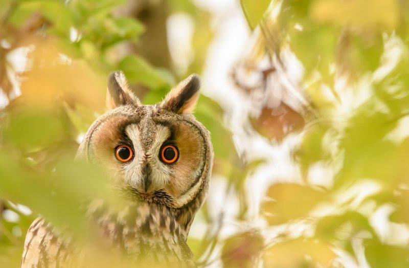 Ушастая сова, птица с ушами, Asio otus, птицы Подмосковья, портрет птицы, птица на клёне, клён ясенелистный, клён американский, размытие в кадре, размытая листва, листва, боке, сова осенью, анфас, портрет совы, взгляд совы, глаза в глаза Локаторphoto preview