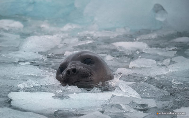 southern_elephant_seal, yankee_harbour, greenwich_island, shetland_islands, antarctica, animal_wildlife, animals_in_the_wild, antarctica, aquatic_mammal, beach, male_animal, nature, no_people, the_natural_world Ледяные Ванныphoto preview