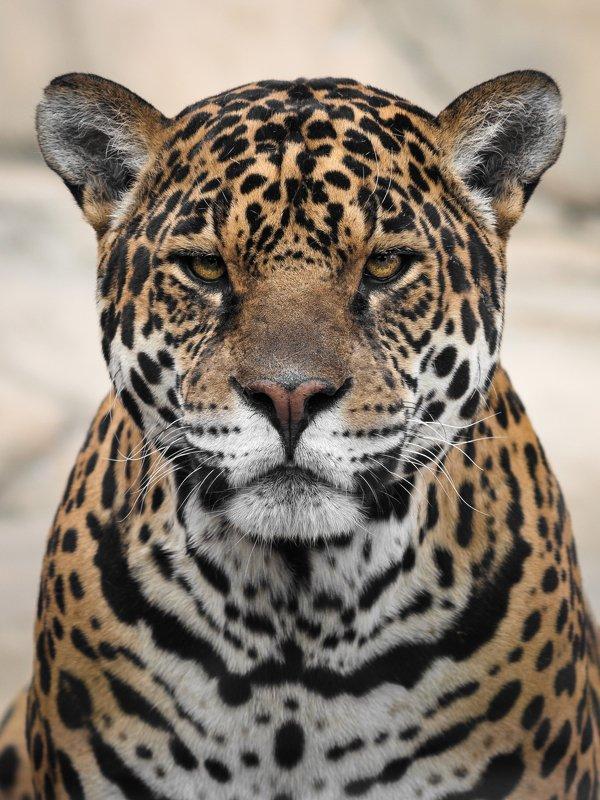cat, panthera ,wild, wildanimal, wildanimals, wildlife, wildlifephotography, wild_animal, wildanimalphotography, jaguar, кот, беларусь,минский зоопарк, ягуар,minsk zoo, belarus Panthera oncaphoto preview