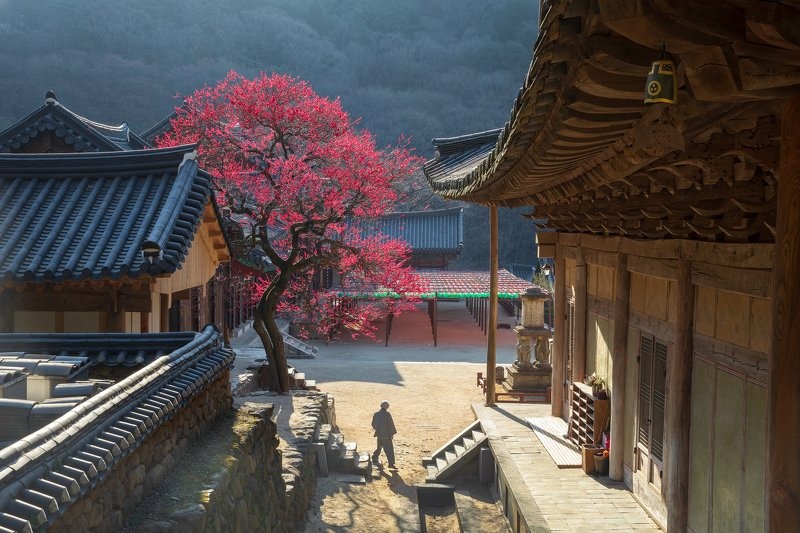 trees, spring, flowers,  light, temple, buddhism, korea Red temptation of hwaeomsaphoto preview