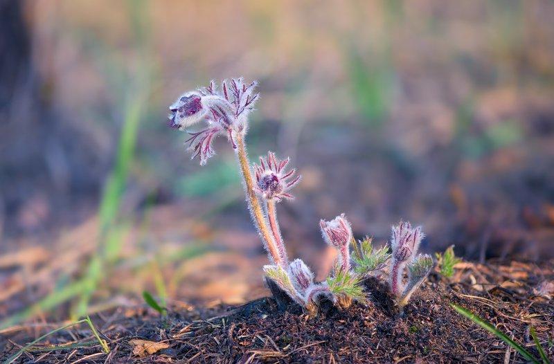 весна апрель сон-трава Пастельная акварель, апрельphoto preview
