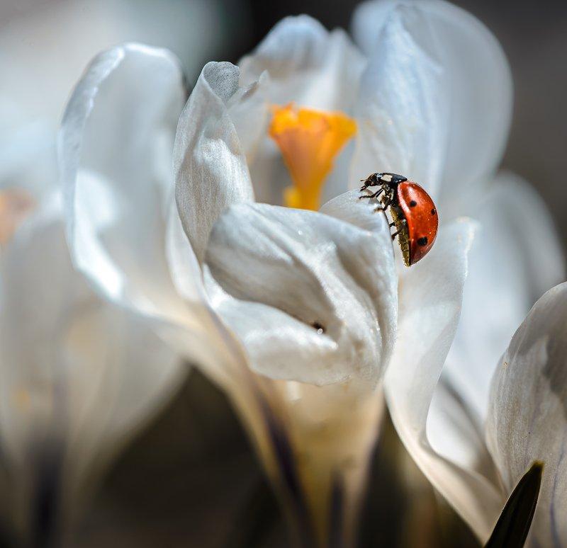 природа, макро, весна, крокус, жук, насекомое, божья коровка ***photo preview