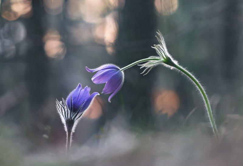 сон-трава, весна, закат Притяжениеphoto preview