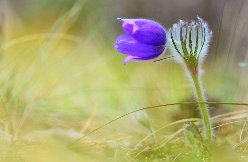сон-трава, прострел, макросъемка, весна, первоцветы, цветы, макро Дыхание весны. Прострел раскрытыйphoto preview
