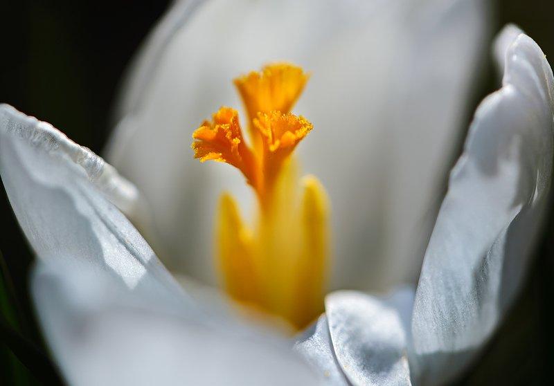 природа, макро, весна, цветок, крокус Цветок на ладониphoto preview