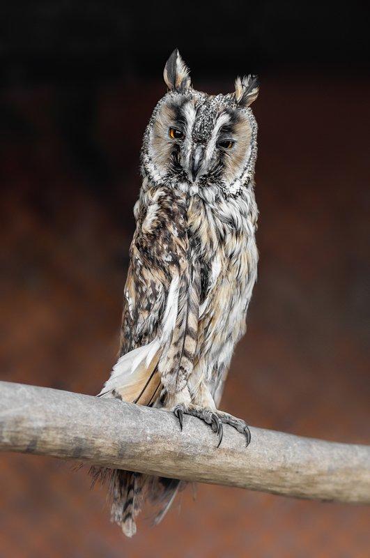 птицы, ушастая сова, сова, минск, беларусь, минский зоопарк, minsk, belarus, minsk zoo, owl, birdphotography, bird, birds,long-eared owl Asio otusphoto preview