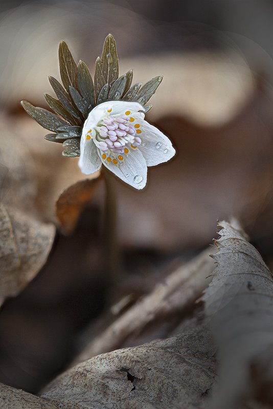 весенник звезчатый etanthis stellata  весна апрель владивосток остров русский Весна и весенникphoto preview