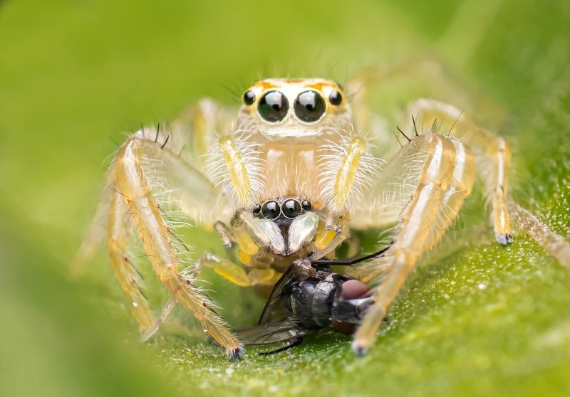 macro wildlife closeup insects spiders Two striped with killphoto preview