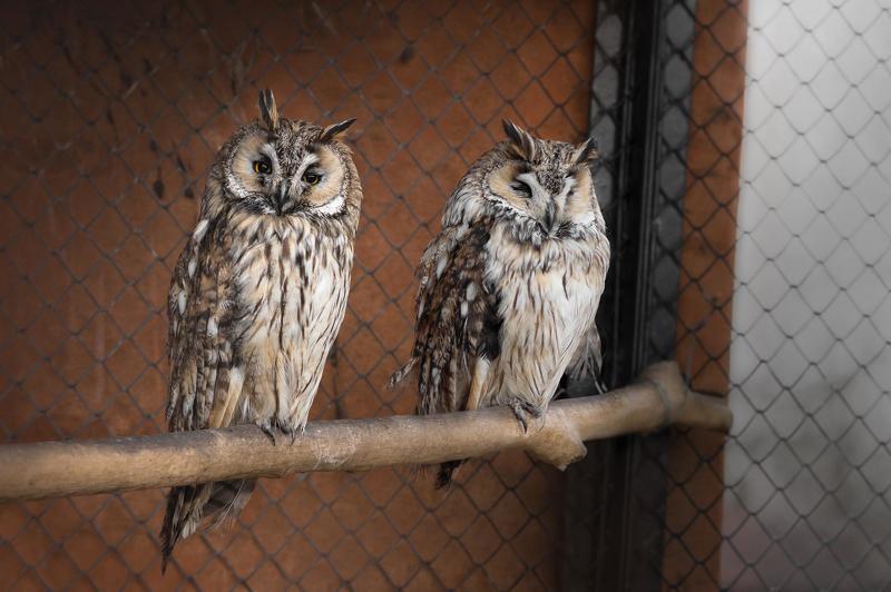 птицы, ушастая сова, сова, минск, беларусь, минский зоопарк, minsk, belarus, minsk zoo, owl, birdphotography, bird, birds,long-eared owl Sleepy Long-eared owlsphoto preview