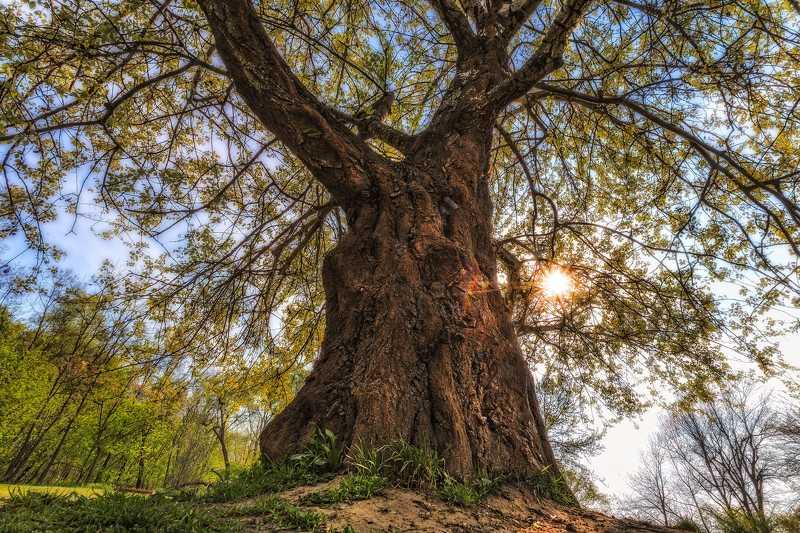 Царь деревоphoto preview