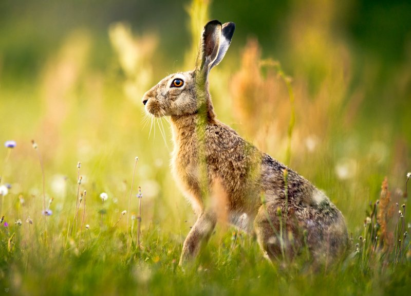hare, wildlife, animal, field, meadow Harephoto preview