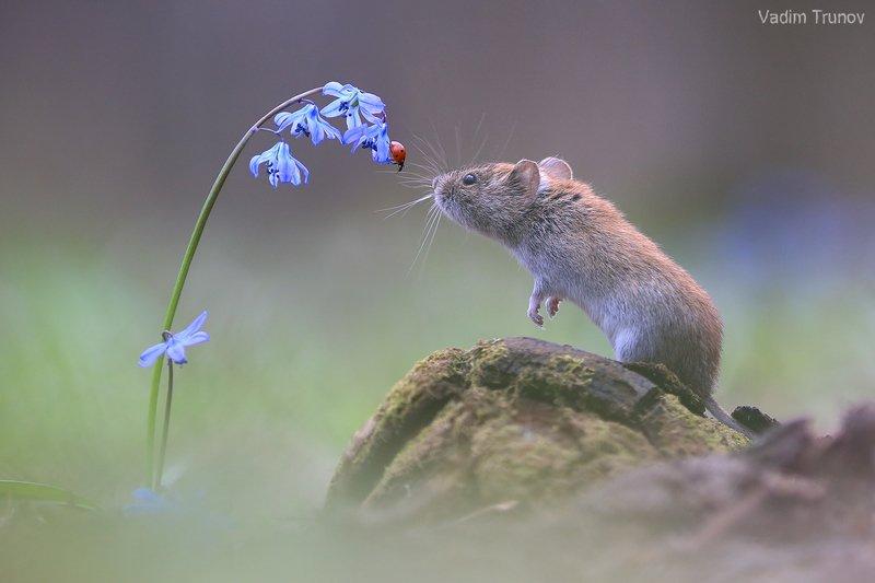 мышь, божья коровка, подснежник, весна Встречаphoto preview