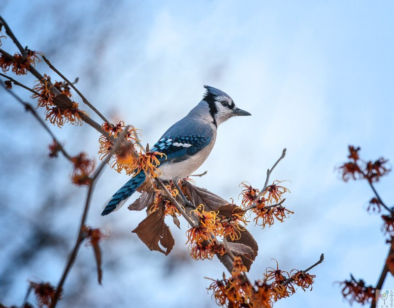 Blue Jayphoto preview