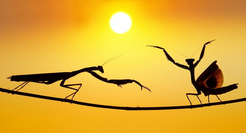 #prayingmantis#dancing#sunset#kungfu Kung_fu Stylephoto preview