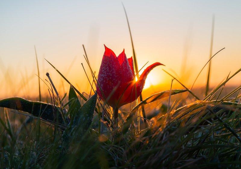 ставропольский край, ставрополье, цветы, природа, флора, степь, тюльпан, цветение, солнце, цветок, рассвет, шренка, Рассвет с тюльпаномphoto preview