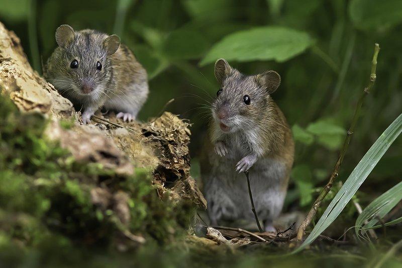 мыши, лес, трава \
