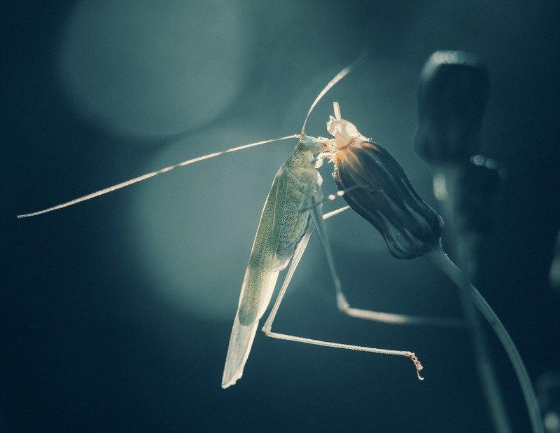 кузнечик, саранча, насекомые, макро, животные, природа кузнецphoto preview
