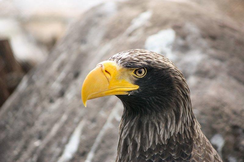 Белоплечий орланphoto preview